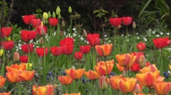 Colourful Mass of spring Tulip Flowers Blowing in Spring Breeze Red yellow Stock Footage