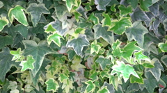 4k Wall of green ivy leafs. UHD steadycam foliage background stock footage Stock Footage