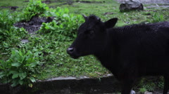 Black cow chewing, close up, shallow DOF - stock footage