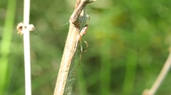 Long Jawed spider is master of masking - Tetragnatha obtusa Stock Footage