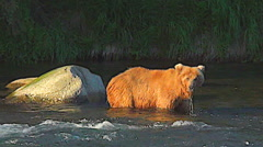 Pan From Younger Brown Bear to Big Bear Walking With Fish in Rich Evening Light Stock Footage