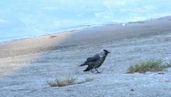 Western jackdaw walks on embankment, takes flight and flies away Stock Footage