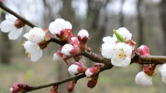 Apricot flower stirred by wind in spring with water droplets Stock Footage