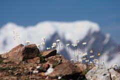Alpine camomile flowers - stock photo