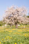 Out of focus spring apple blooming tree on green grass with dandelions - stock photo