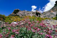 Alpine flowers - stock photo
