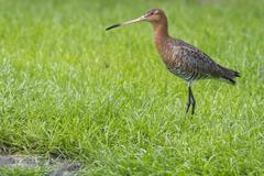 black tailed godwit - stock photo