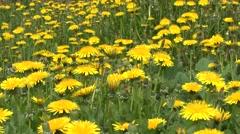 Dandelion flowers Stock Footage