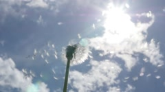 Blowing dandelion  seed head flower slow motion against blue sky 1080p FullHD - stock footage