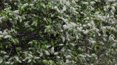 Spring bird-cherry blossoms Stock Footage