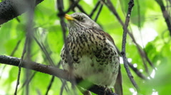 Fieldfare, (Turdus pilaris) is sitting on a branch - stock footage
