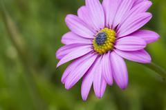 Pink daisy with a green background - stock photo