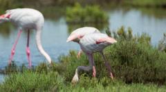 Flamingo bird nature wildlife reserve carmargue lagoon Stock Footage