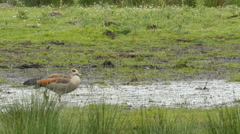 Egyptian goose in alert while pheasant is passing Stock Footage