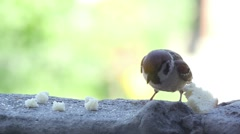Sparrow Pecks Bread Crumbs - stock footage
