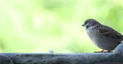 Sparrow Pecks Bread Crumbs 4k - stock footage