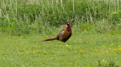 Male pheasant on meadow 4K UHD Stock Footage