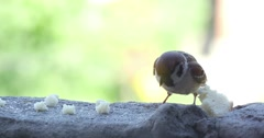 Stock Video Footage of Sparrow Pecks Bread Crumbs 4k