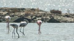 Flamingo bird nature wildlife reserve delta ebro lagoon Stock Footage
