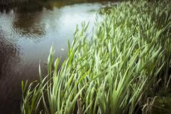 Blurred reeds and lake May - stock photo