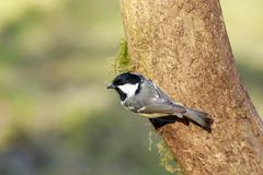 Coal Tit (Periparus ater) Stock Photos