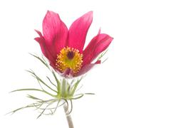 Spring red and pink flower Pulsatilla patens Stock Photos