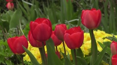 Bold Red Tulips Flowers in Spring Garden with Yellow Easter  Primroses Stock Footage