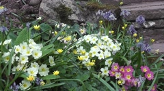 Beautiful Wild flowering Primroses Blooming in Spring Nature Garden Stock Footage