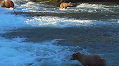 Very Active Young Alaskan Brown Bear Diving & Snorkeling for Salmon Stock Footage