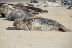 Grey seal - stock photo
