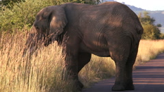 Pilanesburg elephant Johannesburg Savanna South Africa Stock Footage