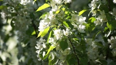 Blooming White Cherry Branches, Close Up Stock Footage