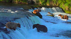 Five Alaskan Brown Bears Fishing at Brooks Falls in Sweet Evening Light Stock Footage