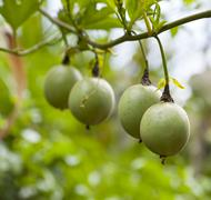Unripe passion fruits in a Kenyan garden. Stock Photos