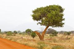 Grant's Gazelles in Tsavo East National Park, Kenya - stock photo