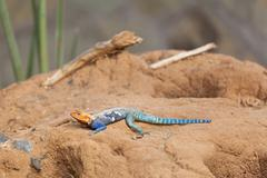 A Red-headed Rock Agama in Tsavo East National Park in Kenya Stock Photos