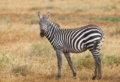 A cute Zebra in Tsavo East National Park in Kenya with a straw or blade of gr Stock Photos