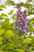 Lilac bush (Syringa vulgaris) Stock Photos