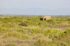 An African Elephant in Amboseli National Park in Kenya. - stock photo