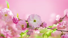Pink flower of an Oriental cherry and butterfly, video Stock Footage