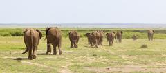A herd of African Elephants in Amboseli National Park in Kenya on their way t - stock photo