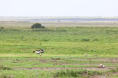 Two Grey Crowned Cranes in Amboseli National Park, Kenya - stock photo