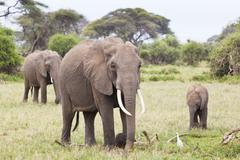 A family of African Elephants in Amboseli National Park in Kenya. - stock photo