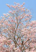 Pink flower of trumpet  or Tabebuia tree Stock Photos