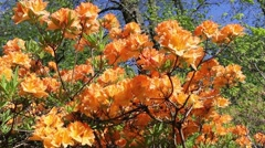 Orange flame azalea or Rhododendron close up, footage Stock Footage