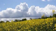 Spring fields of rapeseed against blue sky with clouds, footage Stock Footage