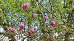 Spring magnolia tree blossom close up footage Stock Footage