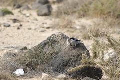 Southern Grey Shrike  (Lanius meridionalis) Stock Photos