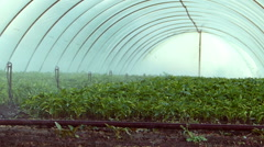 Irrigation of pepper seedlings in greenhouse. - stock footage