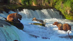 Three Alaskan Brown Bears Fishing Below Falls in Sweet Evening Light Stock Footage